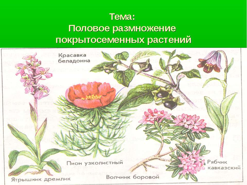 покрытосеменных растений