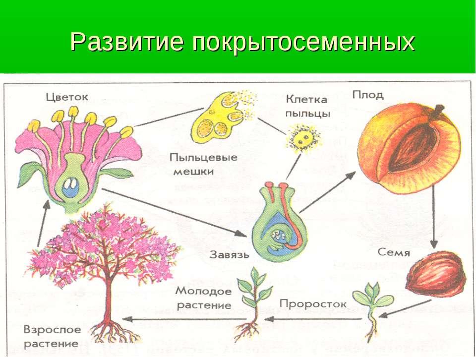 Развитие покрытосеменных