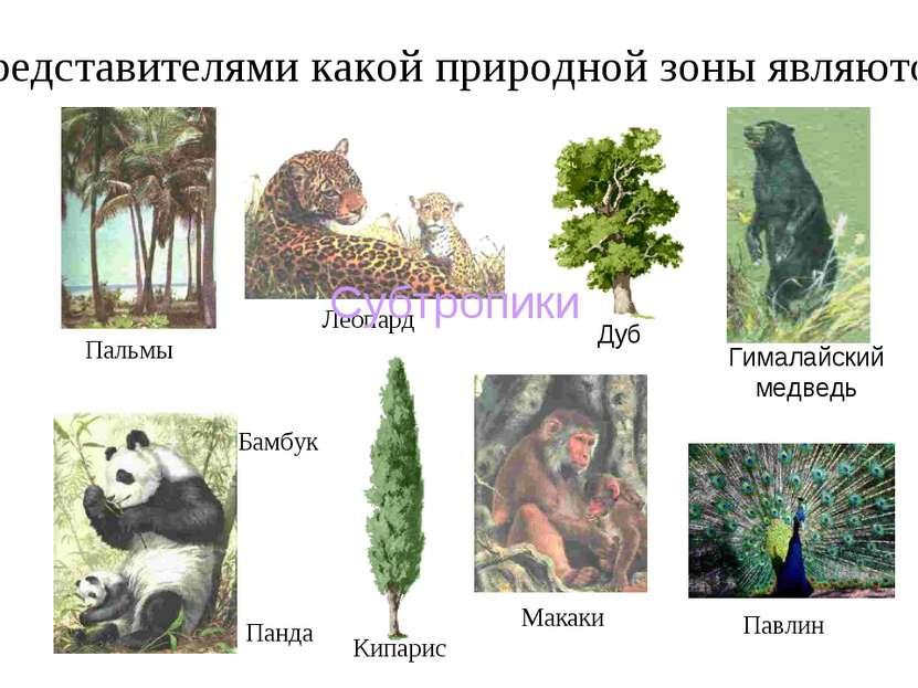 Представителями какой природной зоны являются: Леопард Макаки Панда Кипарис Б...
