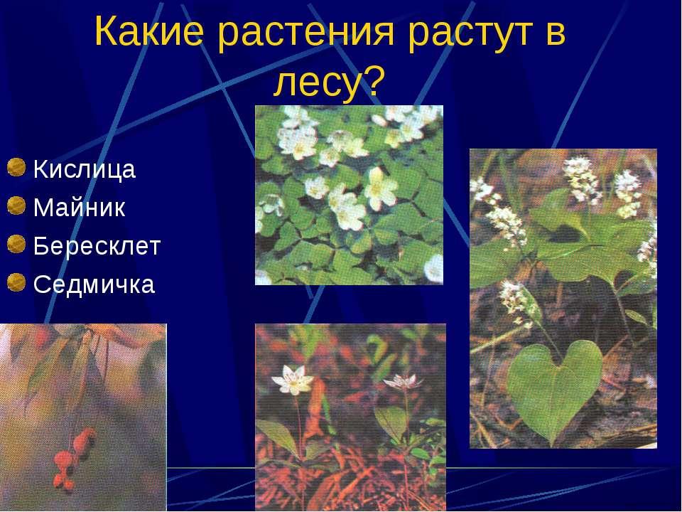 Какие растения растут в лесу? Кислица Майник Бересклет Седмичка