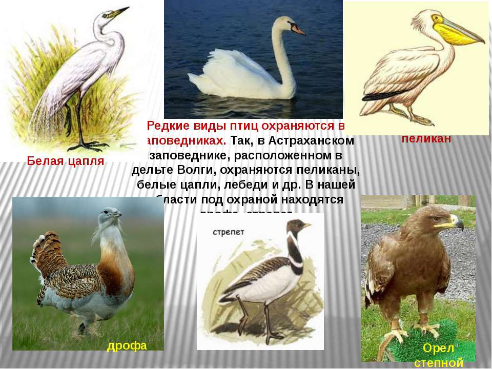 Редкие виды птиц охраняются в заповедниках. Так, в Астраханском заповеднике, ...