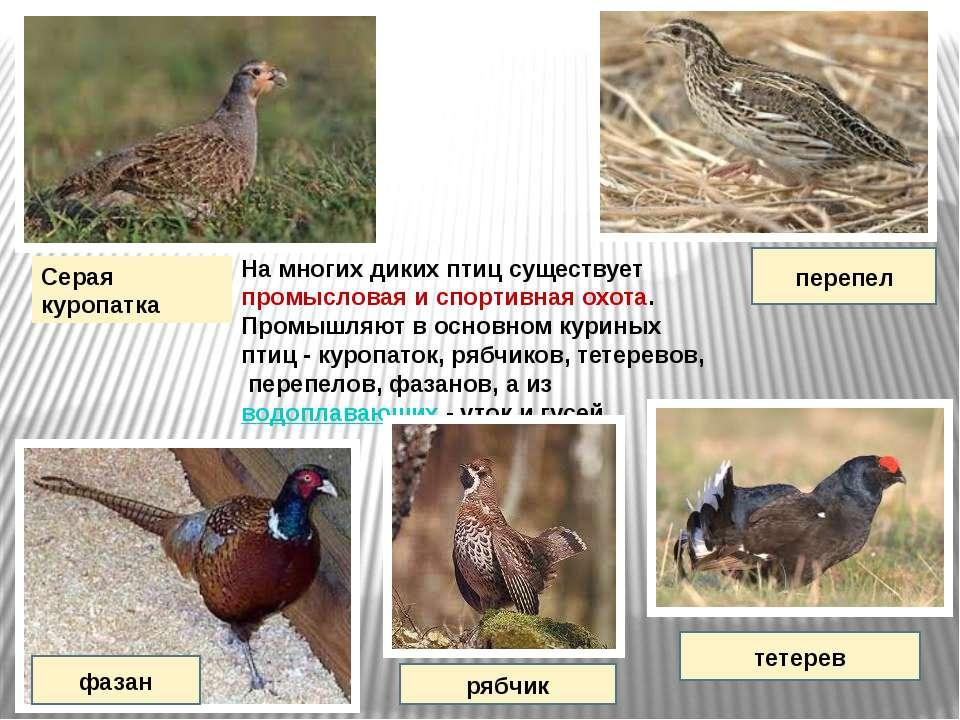 На многих диких птиц существует промысловая и спортивная охота. Промышляют в ...