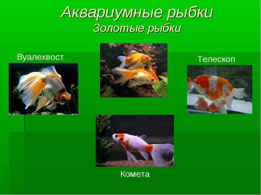 Аквариумные рыбки Золотые рыбки Вуалехвост Телескоп Комета