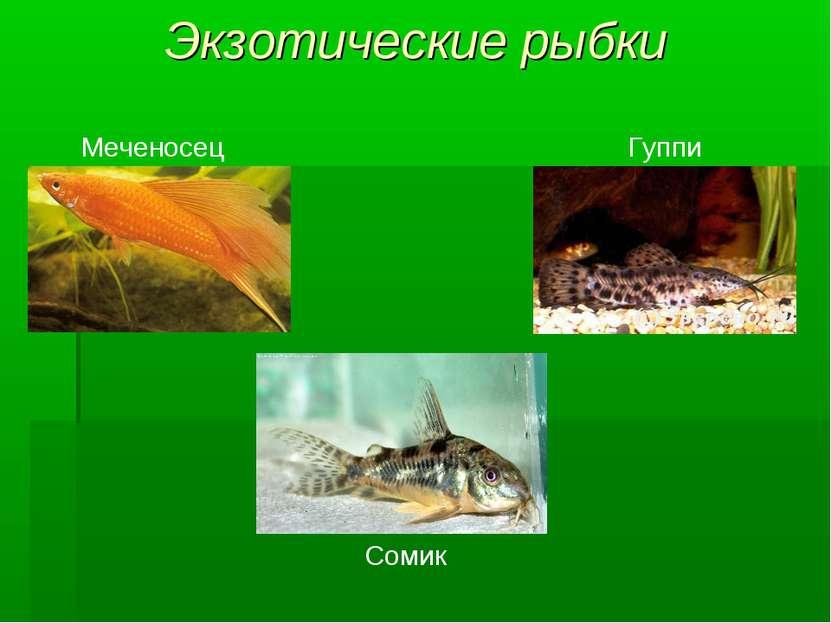 Экзотические рыбки Меченосец Гуппи Сомик