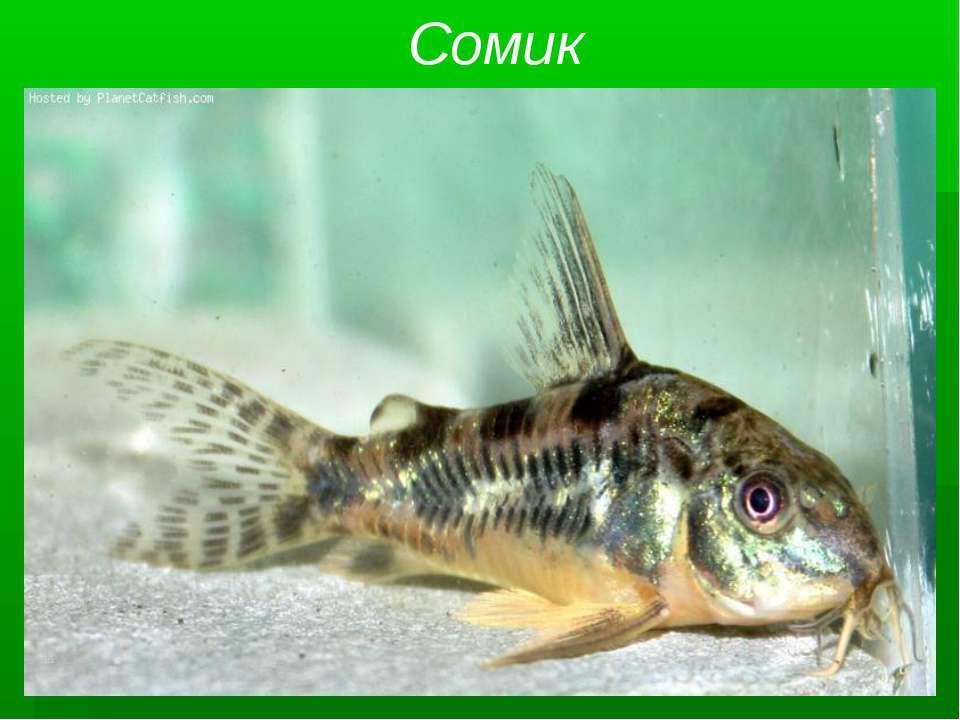 Сомик