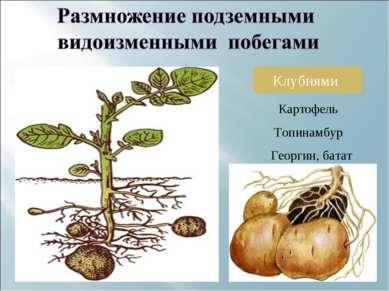 Клубнями Картофель Топинамбур Георгин, батат