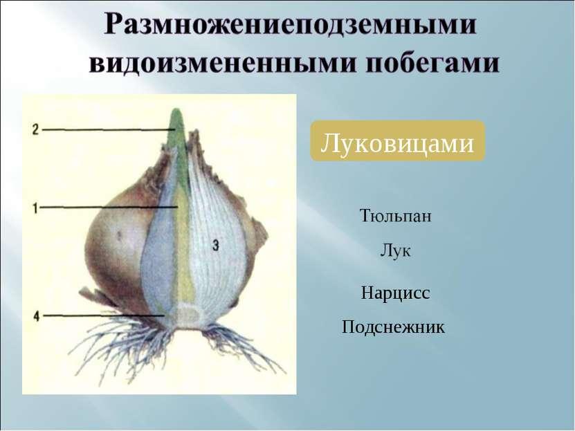 Луковицами Нарцисс Подснежник