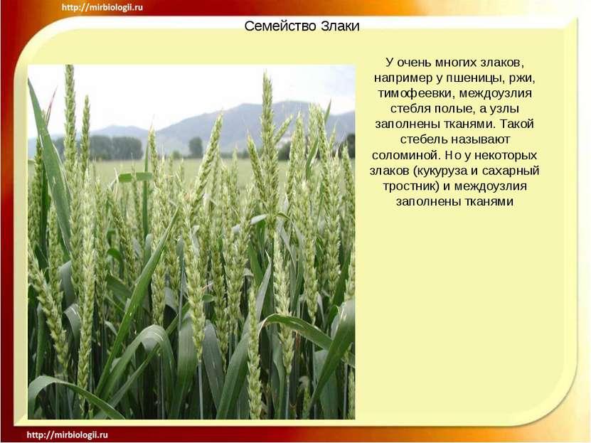 Семейство Злаки У очень многих злаков, например у пшеницы, ржи, тимофеевки, м...