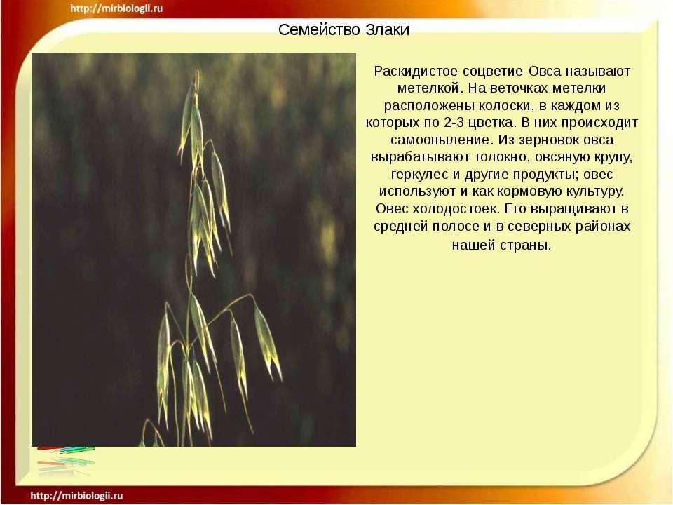 Семейство Злаки Раскидистое соцветие Овса называют метелкой. На веточках мете...