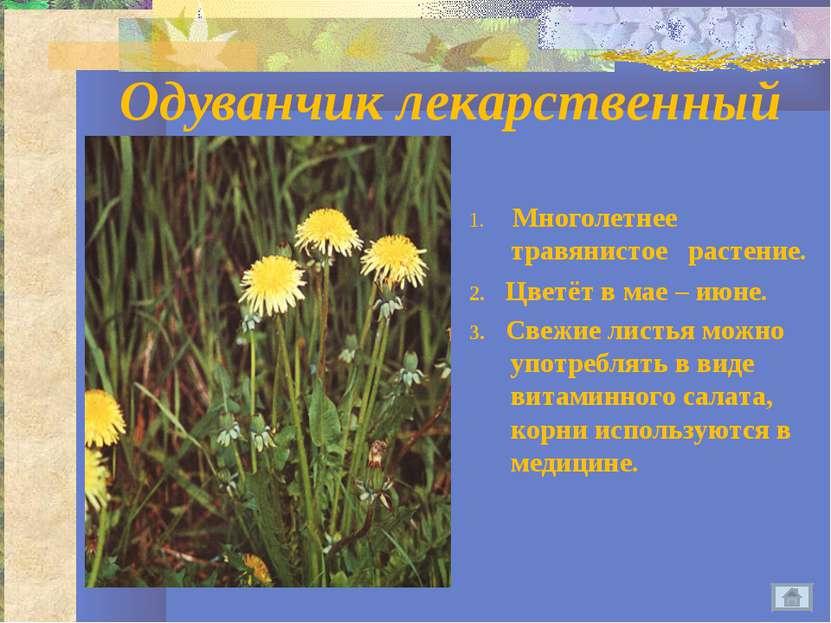 Одуванчик лекарственный 1. Многолетнее травянистое растение. 2. Цветёт в мае ...