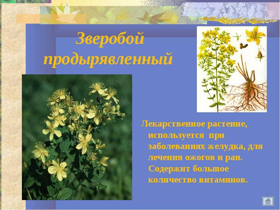 Зверобой продырявленный Лекарственное растение, используется при заболеваниях...