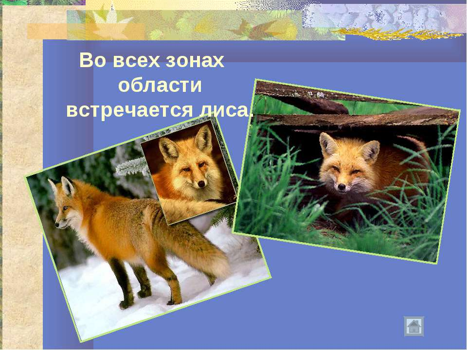 Во всех зонах области встречается лиса.