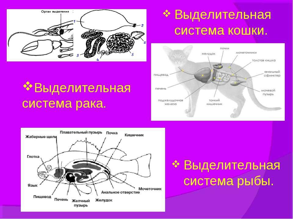 Выделительная система рака. Выделительная система рыбы. Выделительная система...
