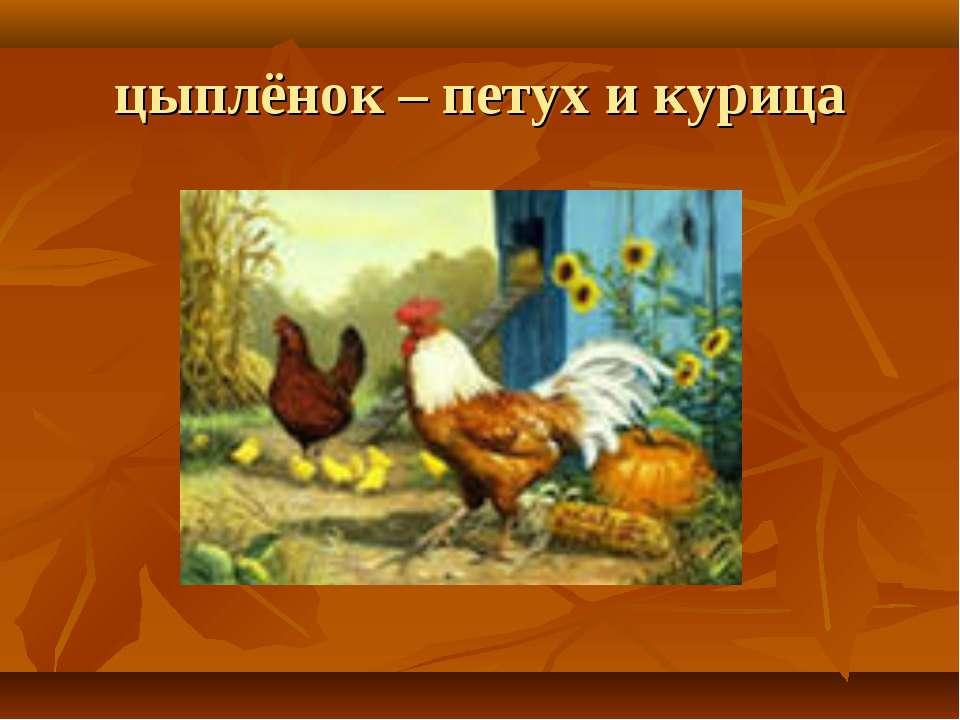 цыплёнок – петух и курица
