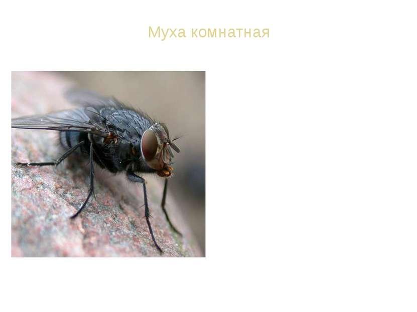 Муха комнатная ВИД: Муха комнатная - Musca domestica Спутник человека в сельс...