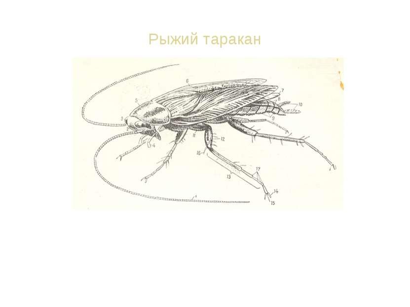 Рыжий таракан Останки таракана находят в залежах 300-миллионолетней давности....