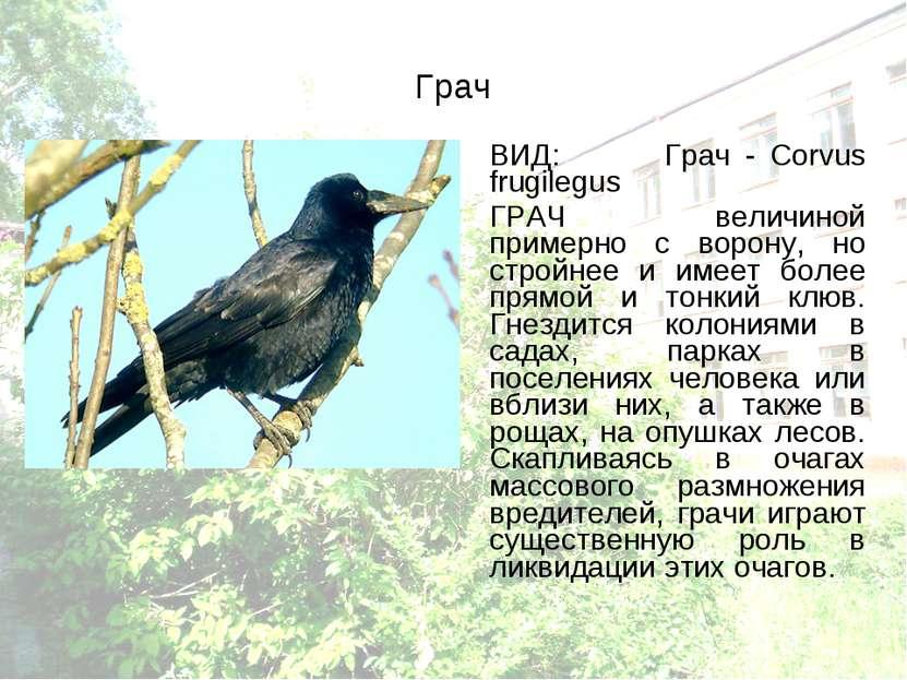 Грач ВИД: Грач - Corvus frugilegus ГРАЧ величиной примерно с ворону, но строй...