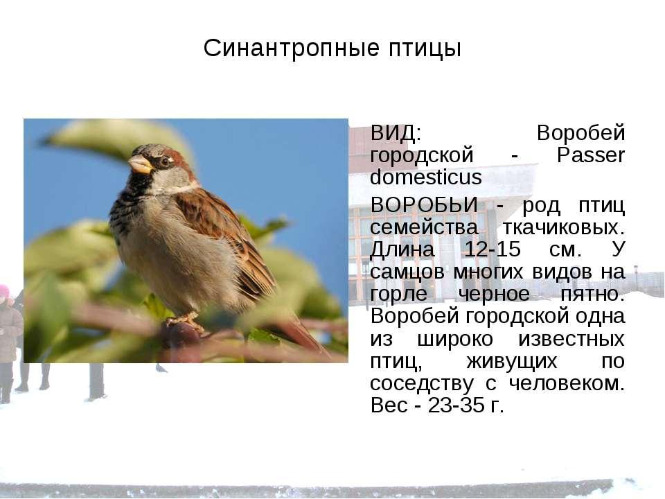 Синантропные птицы ВИД: Воробей городской - Passer domesticus ВОРОБЬИ - род п...