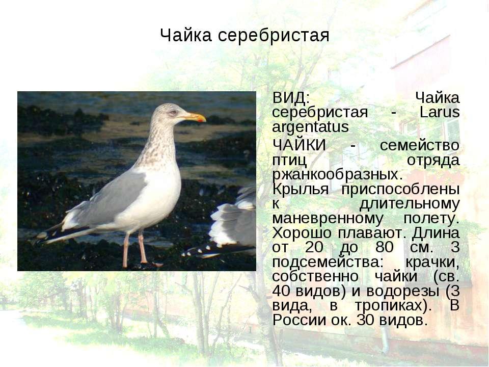 Чайка серебристая ВИД: Чайка серебристая - Larus argentatus ЧАЙКИ - семейство...