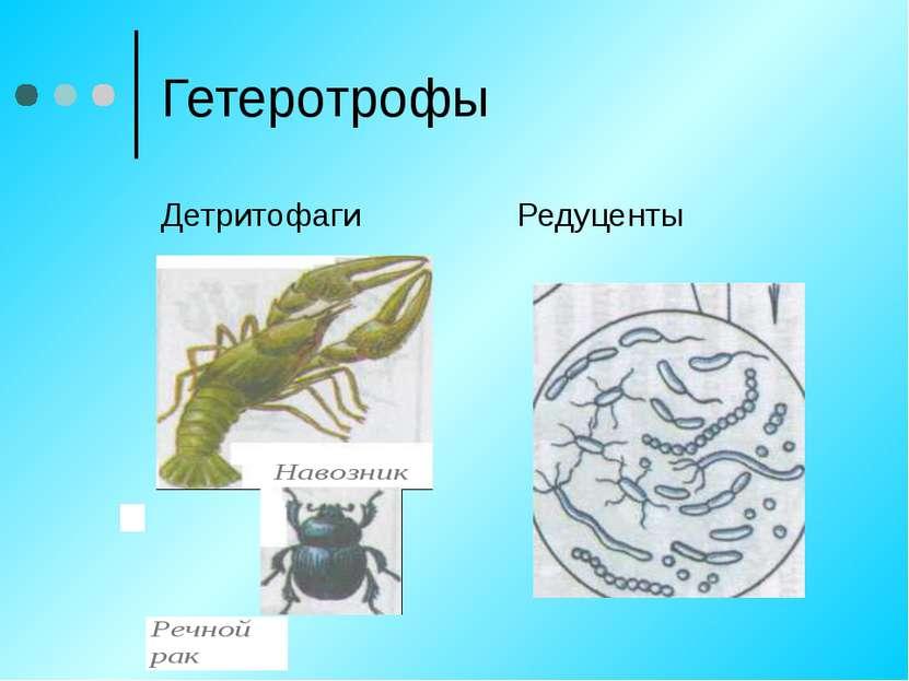 Гетеротрофы Детритофаги Редуценты