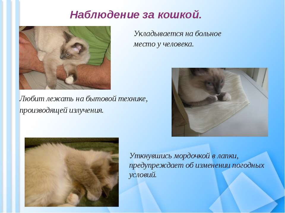 Наблюдение за кошкой. Укладывается на больное место у человека. Любит лежать ...