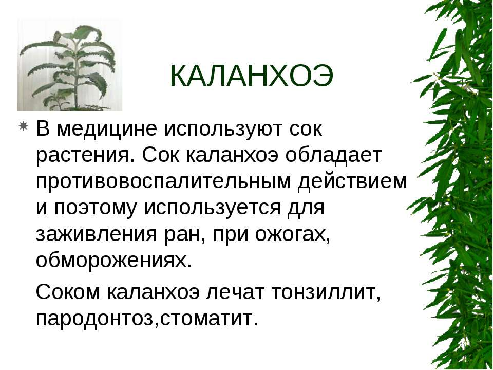 КАЛАНХОЭ В медицине используют сок растения. Сок каланхоэ обладает противовос...
