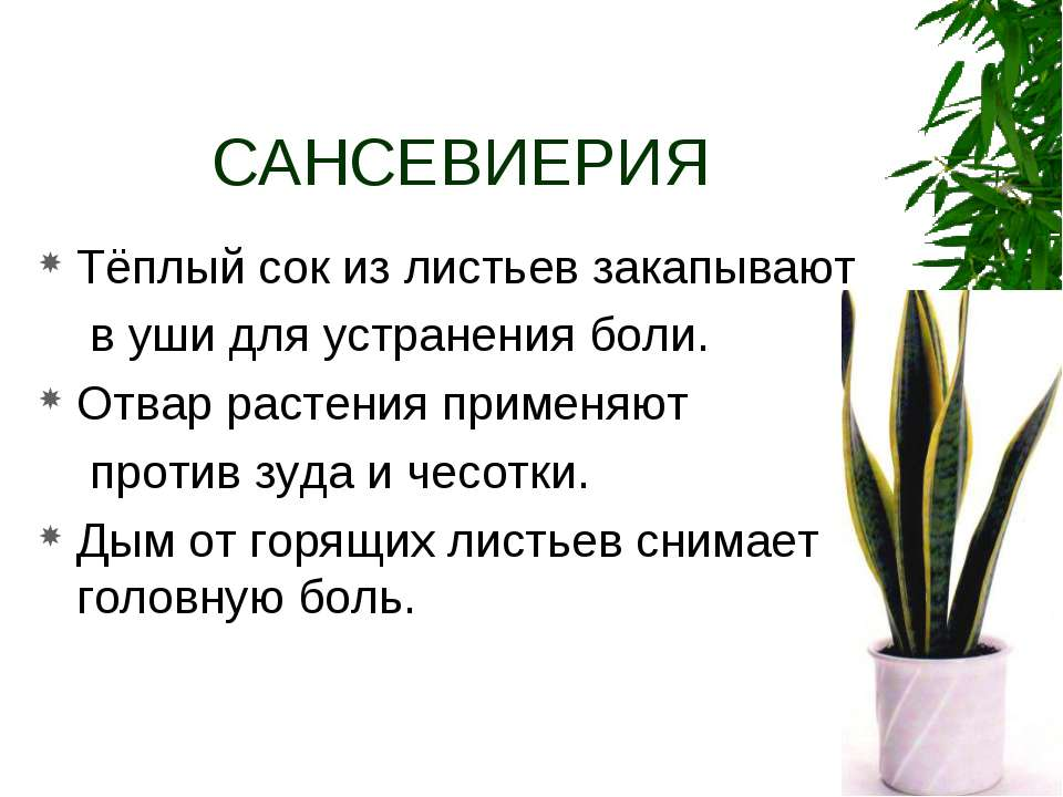 САНСЕВИЕРИЯ Тёплый сок из листьев закапывают в уши для устранения боли. Отвар...