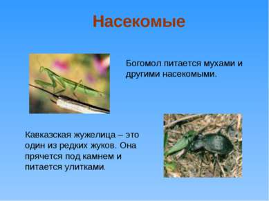 Богомол питается мухами и другими насекомыми. Кавказская жужелица – это один ...
