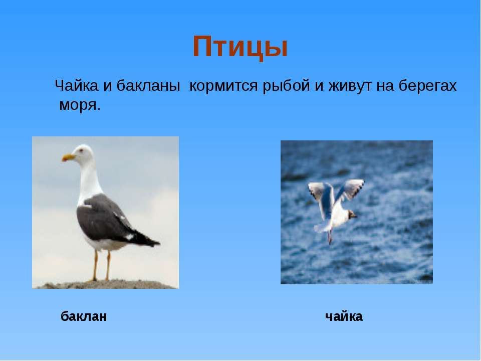 Птицы Чайка и бакланы кормится рыбой и живут на берегах моря. баклан чайка