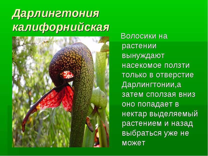 Дарлингтония калифорнийская Волосики на растении вынуждают насекомое ползти т...