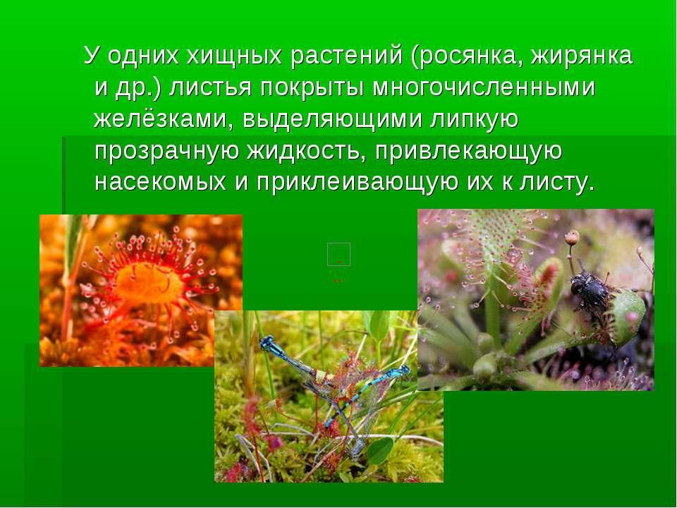 У одних хищных растений (росянка, жирянка и др.) листья покрыты многочисленны...