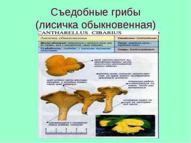 Съедобные грибы (лисичка обыкновенная)