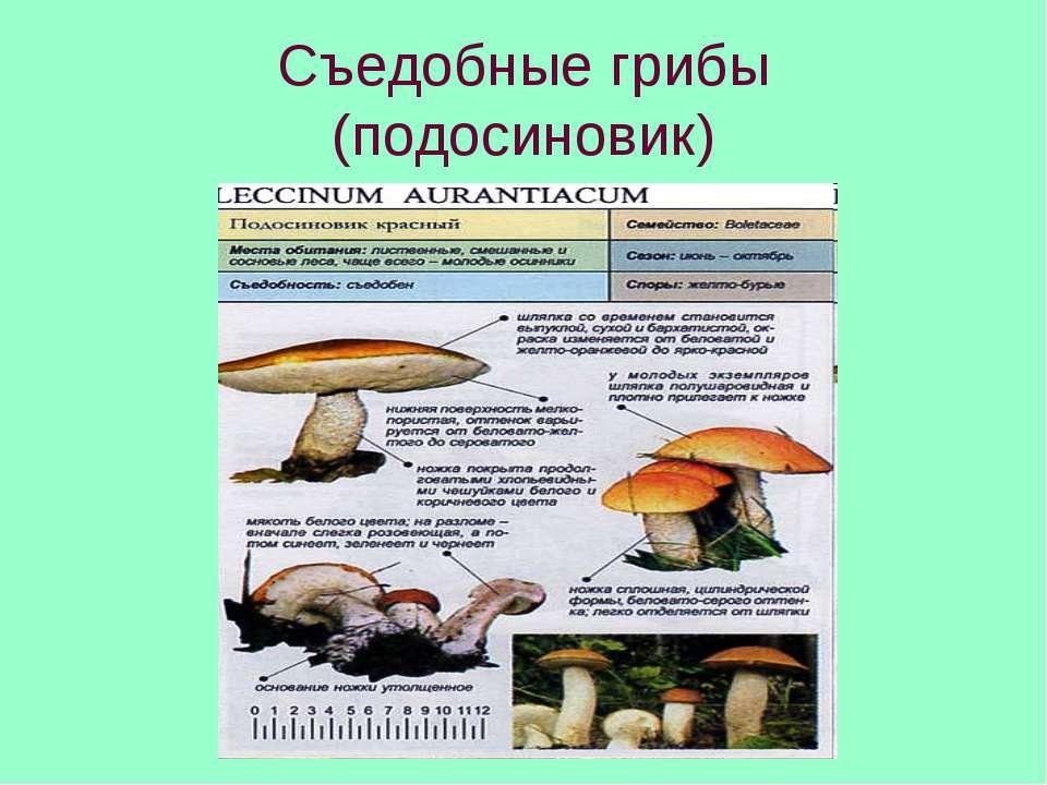Съедобные грибы (подосиновик)