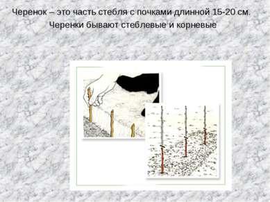 Черенок – это часть стебля с почками длинной 15-20 см. Черенки бывают стеблев...