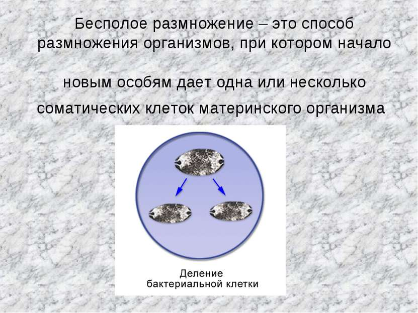 Бесполое размножение – это способ размножения организмов, при котором начало ...