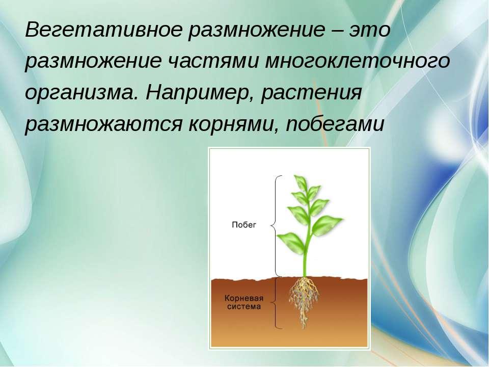 Вегетативное размножение – это размножение частями многоклеточного организма....