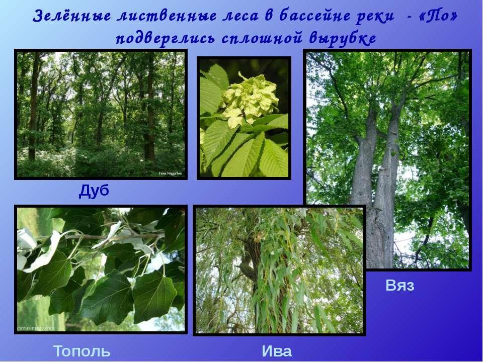 Зелённые лиственные леса в бассейне реки - «По» подверглись сплошной вырубке ...