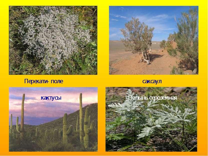 Перекати- поле саксаул кактусы Полынь сероземная