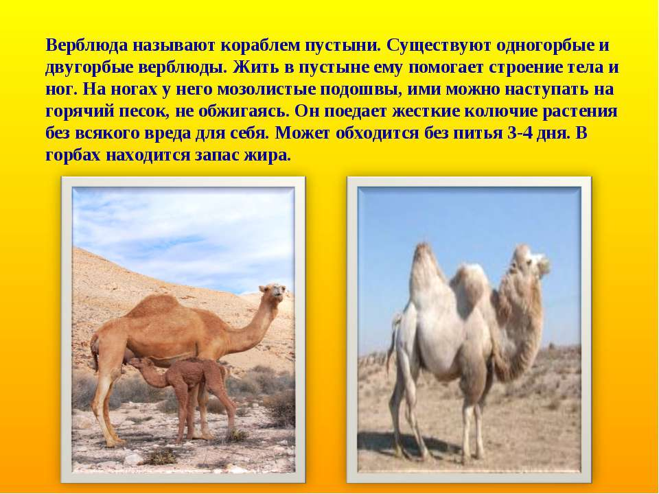 Верблюда называют кораблем пустыни. Существуют одногорбые и двугорбые верблюд...