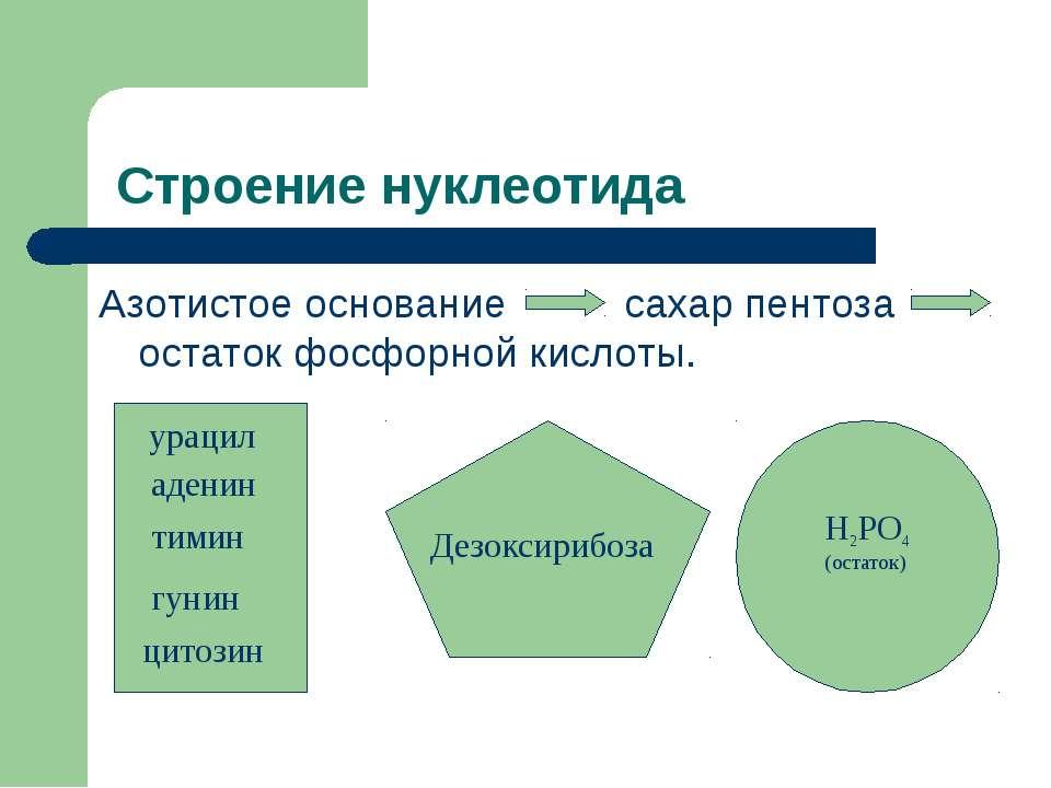 Строение нуклеотида Азотистое основание сахар пентоза остаток фосфорной кисло...