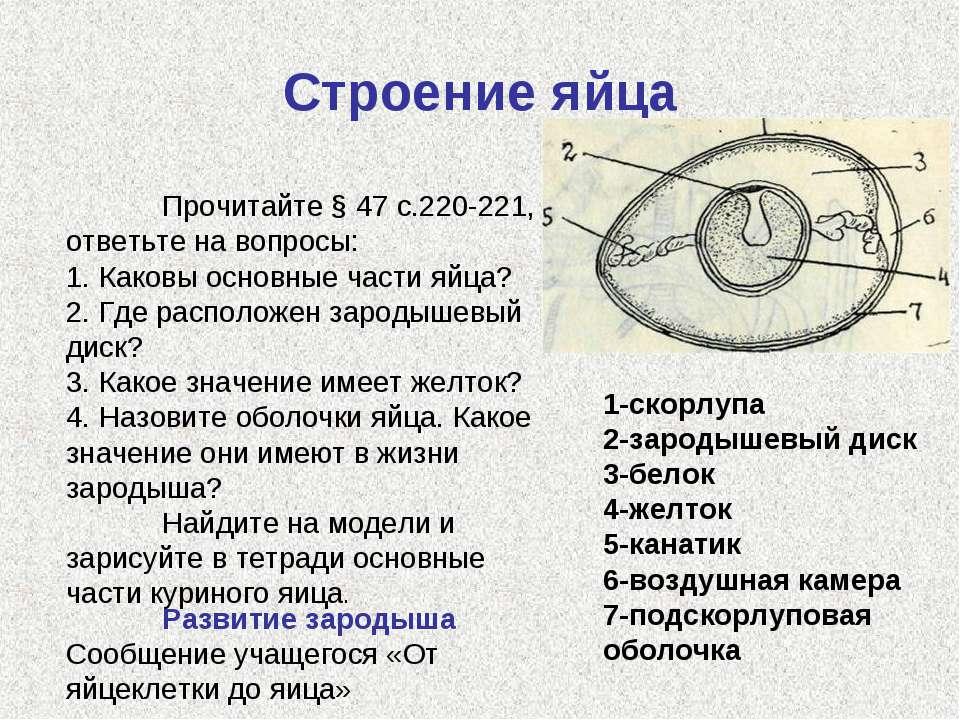 Строение яйца 1 1-скорлупа 2-зародышевый диск 3-белок 4-желток 5-канатик 6-во...