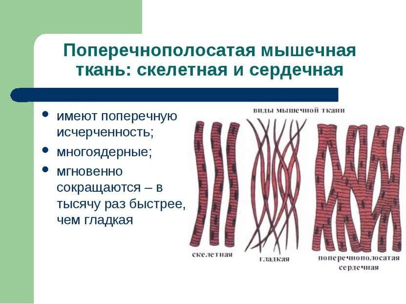 Поперечнополосатая мышечная ткань: скелетная и сердечная имеют поперечную исч...