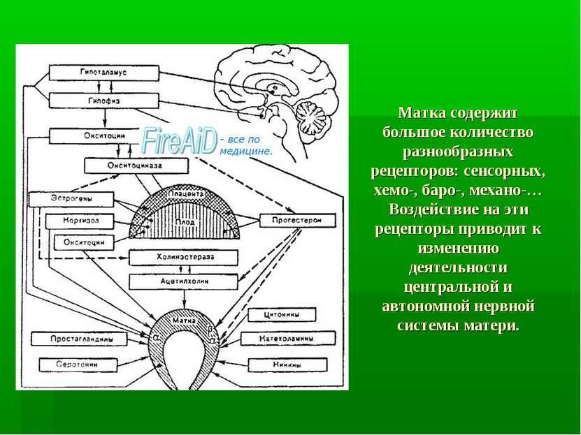 Матка содержит большое количество разнообразных рецепторов: сенсорных, хемо-,...