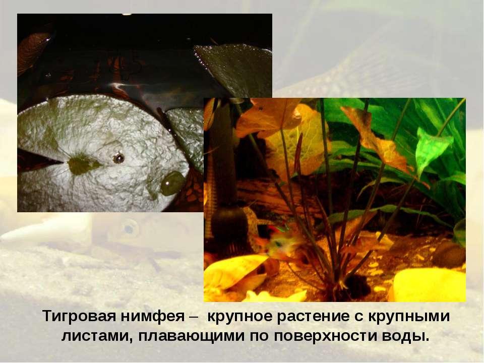 Тигровая нимфея – крупное растение с крупными листами, плавающими по поверхно...