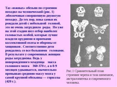 Таз «южных» обезьян по строению походил на человеческий (рис. 1) .обеспечивая...