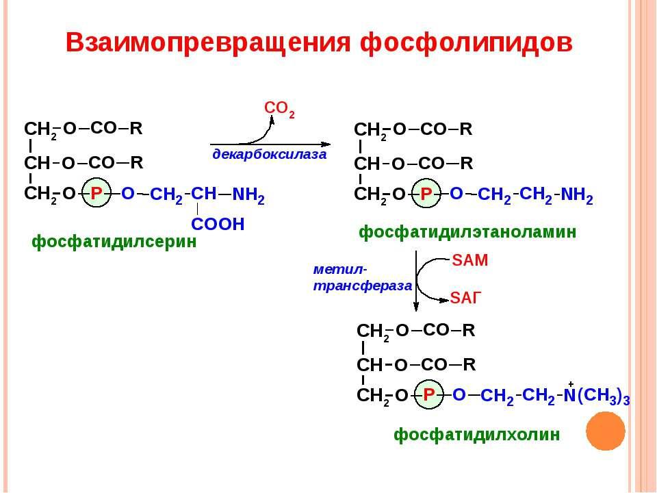 Взаимопревращения фосфолипидов