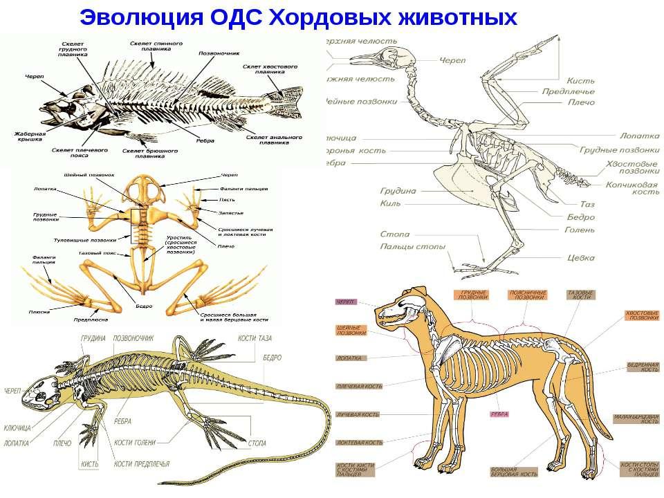 Эволюция ОДС Хордовых животных