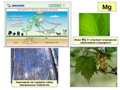 Mg Ионы Mg 2+ участвует в процессах образования хлорофилла Березовый сок соде...