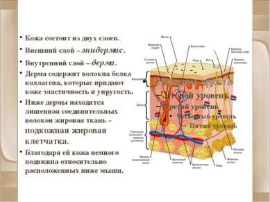 Строение кожи Кожа состоит из двух слоев. Внешний слой – эпидермис. Внутренни...