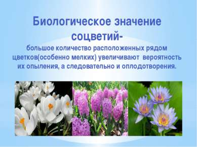 Биологическое значение соцветий- большое количество расположенных рядом цветк...